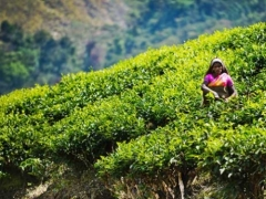 Чай растущий в горах.
