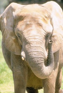 красавец слон
