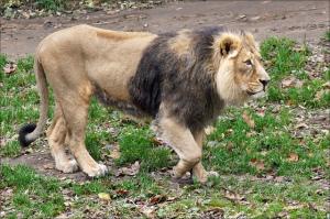 asiatic-lion_-Martien-Ulterweerd_Iran